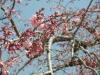 04/02 東金中央公園のシダレ桜1