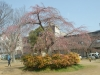 04/02 東金中央公園のシダレ桜2