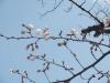 04/02 東金中央公園のソメイヨシノ