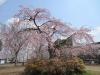 04/06 東金中央公園のシダレ桜1