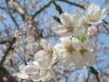 04/06 八鶴湖標準木1