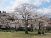 04/06 八鶴湖標準木3