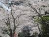 04/12観光案内所前のソメイヨシノ