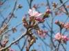 04/01山田・市道5240号沿線の陽光桜1