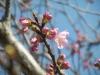 04/01山田・市道5240号沿線の陽光桜2