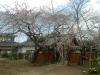 04/01 松之郷・願成就寺のシダレ1
