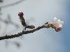 04/01八鶴亭前の桜1