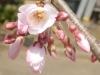 04/02松之郷・本松寺のシダレ1