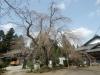 04/02松之郷・本松寺のシダレ2