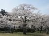 04/10八鶴湖標準木1
