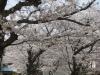 04/10八鶴湖標準木2