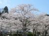 04/12八鶴湖標準木1