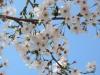 04/12八鶴湖標準木2
