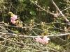03/14みんなの森 河津桜