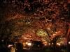 八鶴湖 夜桜ライトアップ11