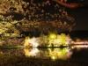 八鶴湖 夜桜ライトアップ16