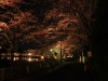八鶴湖 夜桜ライトアップ17