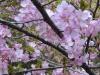 03/28みんなの森 河津桜2
