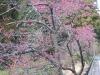 新千葉CC入口のカンヒザクラの桜並木