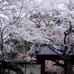松之郷 願成就寺山門のサクラ