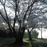 山王台公園の桜