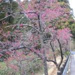 新千葉CC入口の桜並木