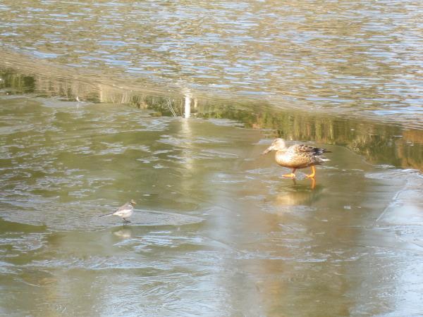 氷の上を歩く野鳥