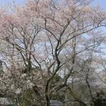 山田の墨染桜