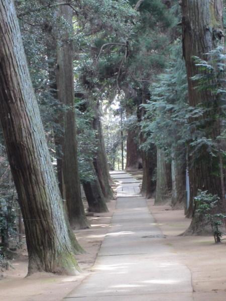 日吉神社参道の杉並木2